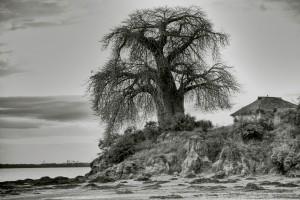 Mocimboa da Praia, baobab